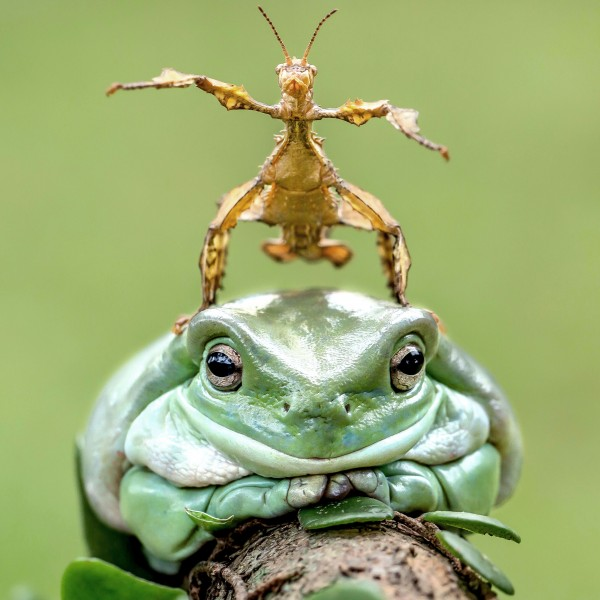 Pic By Tanto Yensen - (Pictured: A stick insect rides on the back of  a dumpy white tree frog in Jakarta Indonesia) - These hilarious photos show a stick insect loving a piggy-back ride on a happily obliging toad. Amateur photographer, Tanto Yensen, 36, from Jakarta, Indonesia, snapped the unlikely friends  out in the wild last week. Tanto, a manager at Meuble Industries, said: It was so much fun capturing these two cheeky fellas. SEE CATERS COPY.  (FOTO: DUKAS/CATERSNEWS) *** Local Caption *** Pic By Tanto Yensen - (Pictured: A stick insect rides on the back of  a dumpy white tree frog in Jakarta Indonesia) - These hilarious photos show a stick insect loving a piggy-back ride on a happily obliging toad. Amateur photographer, Tanto Yensen, 36, fr
