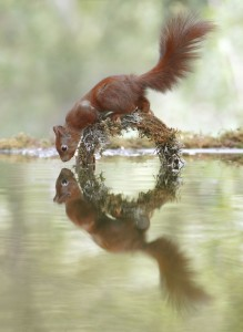 PIC BY Julian Rad / CATERS NEWS (PICTURED the squirrel looks at its reflection PIC TAKEN 16/09/17)-This vain squirrel is clearly NUTS about his appearance as he checks out his reflection while stopping for a drink. The red squirrels image is crystal clear as he pulls a series of funny poses over a stretch of water at a nature reserve in Austria. Photographer, Julian Rad, from Vienna, spent six weeks and up to five hours a day in a self-built hide to capture the beautiful shots. The 26-year-old said: Red squirrels frequently visit a pond which is in a forest near me and I came up with the idea to photograph them while they drink. SEE CATERS COPY   (FOTO: DUKAS/CATERSNEWS) *** Local Caption *** PIC BY Julian Rad / CATERS NEWS (PICTURED the squirrel looks at its reflection PIC TAKEN 16/09/17)-This vain squirrel is clearly NUTS about his appearance as he checks out his reflection while stopping for a drink. The red squirrels image is crystal clear