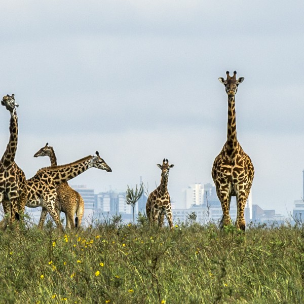 PIC BY PARAS CHANDARIA / CATERS NEWS - (PICTURED PIC TAKEN 15/11/17 )These majestic giraffes are used to being the tallest thing around - but theyre given a run for their money when they look out on a city full of skyscrapers. In a truly one-of-a-kind image, talented photographer Paras Chanaria managed to capture the beautiful animals strolling within metres of the skyscrapers in Nairobi - causing quite the contrast. The herd of giraffe were found in Nairobi National park, which borders the capital city of Nairobi. Its rare for animals who live in the bush to come onto the outskirts of the park - but luckily, Paras, 34, was there just at the right moment. SEE CATERS COPY   (FOTO: DUKAS/CATERSNEWS) *** Local Caption *** PIC BY PARAS CHANDARIA / CATERS NEWS - (PICTURED PIC TAKEN 15/11/17 )These majestic giraffes are used to being the tallest thing around - but theyre given a run for their money when they look out on a city full of skyscrapers. In a truly one-of-a-kind imag